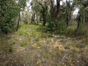 Messmate forest with herbaceous post fire under storey Brisbane Ranges