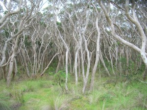 Moonah woodland at Anglesea