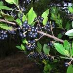 Rhamnus alaternus - Nelson