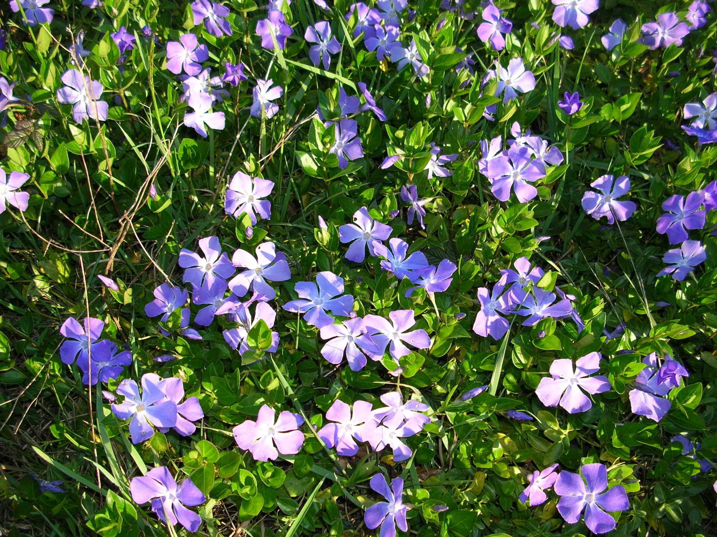 About us australis biological for Vinca major