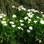 Zantedeschia aethiopica - Simpson