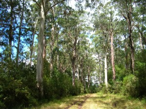 Tall forest at Cape Otway and very weed free
